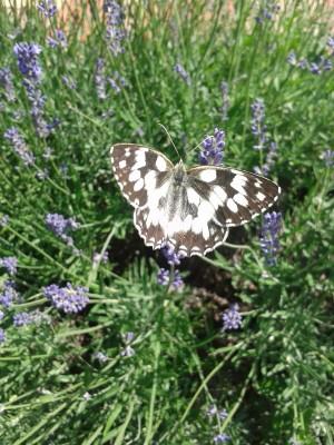 Motýľ už nemá depku, sedí v levanduli