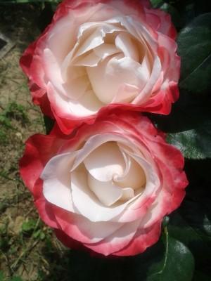 párik ruží